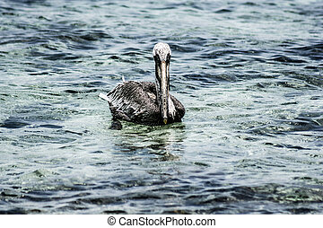 Close up of brown pelican sitting by the sea at Mexican Holbox island