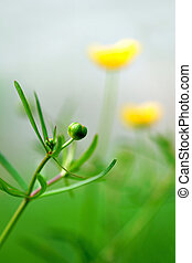 bud of buttercup