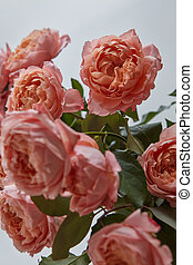 Close-up of buds of pink roses on a gray background. Greeting card