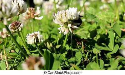 Close up of bumblebee on clover
