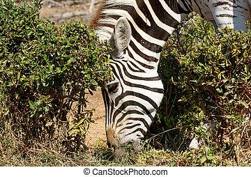 Close up of Burchells Zebra Eating Grass - Burchells Zebra...