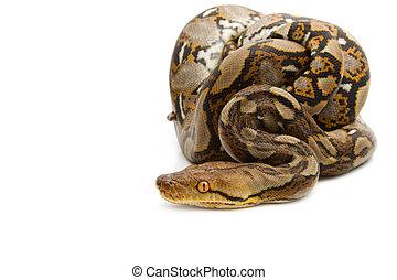 Close up of Burmese Python, isolated