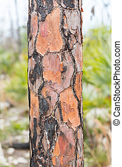 Close up of burned pine tree trunk in Florida