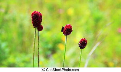 Close-up of burnet flowers