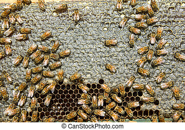 Close up of busy honey bees on hive honeycomb