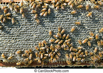 Close up of busy worker bees on honeycomb panel