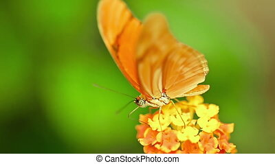 Close up of butterfly julia Heliconian sitting on a flower eating nectar. High quality FullHD footage