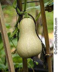 Close up of Butternut Squash or Butternut pumpkin