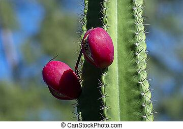 Close up of cactus fruit on tree.