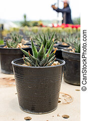 Close up of Cactus in a pot.