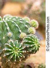 Close up of Cactus plant.
