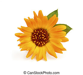 Close-up of calendula flower with leaves.