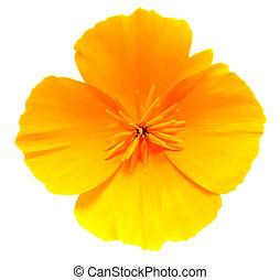 California Golden Poppy flower isolated on white