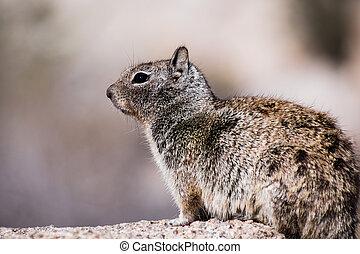 Close up of California Ground Squirrel (Otospermophilus beecheyi), wind messing its fur, Joshua Tree National Park
