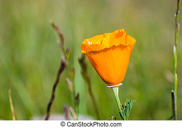 Close up of California poppy (Eschscholzia californica) blooming on the hills of south San Francisco bay area in springtime