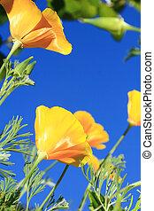 close up of california poppy flower