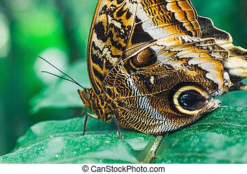 Close up of Caligo memmon butterfly