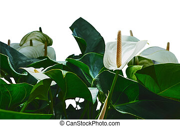 Close - up of calla flowers on a green leaf background indoors