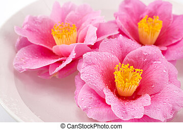 Close up of camellia flowers