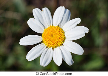 Close up of camomile