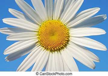 Close-up of camomile on the sky background