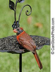 Close up of Cardinal