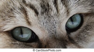 Close-up Of Cat's blue green eye. golden British Cat. macro...