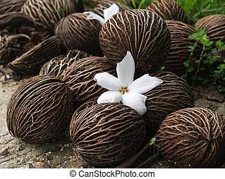 Close up of Cerbera odollam Gaertn flower and seeds.