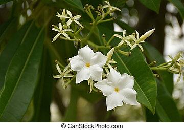 Close up of Cerbera odollam Gaertn flower with leaves in background. White flower (Cerbera odollam)
