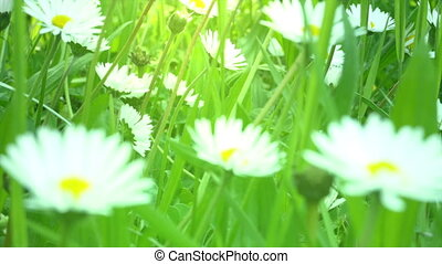 Close up of chamomile field