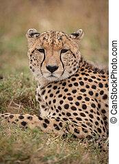 Close-up of cheetah looking at the camera