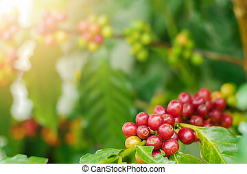 Close up of cherry coffee beans on the branch of coffee ...