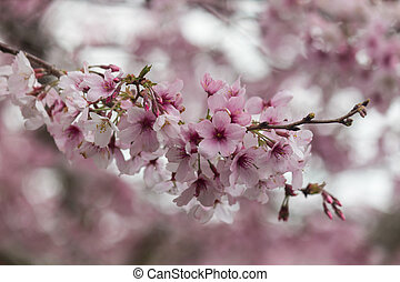 cherry flowers in bloom