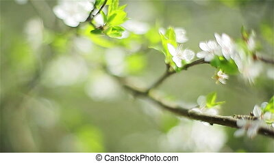 Close-up of cherry tree blossoming