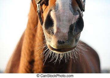Close up of chestnut horse nose in spring