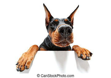 5,808 Dobermans Stock Photos, Illustrations and Royalty Free