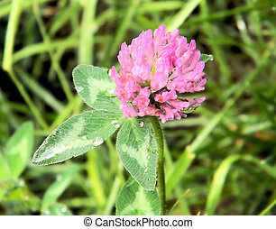 Close Up of Clover Flower and Plant