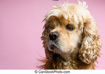 Close-up of cocker spaniel on a pink background