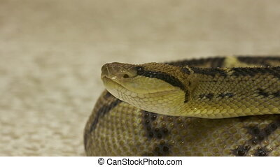 Close-Up Of Coiled Rattlesnake, Costa Rica, - Extreme...
