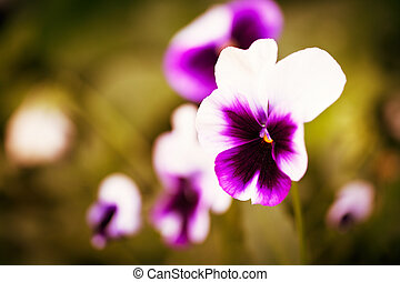 Close up of colorful and vibrant pansy flowers in garden