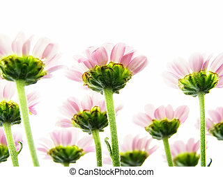 Close-up of colourful pink flowers from beneath to be used as a background
