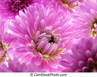 purple aster - Close-up of colourful purple aster to be used...