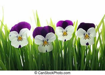 viola tricolor in green grass - close-up of colourful viola ...