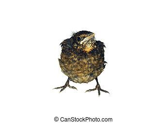 Blackbird chick - Close up of Common Blackbird chick ...