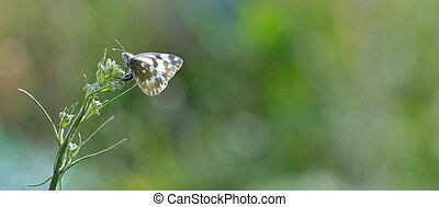 Close up of Common Pierrot