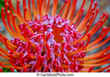 common pincushion protea - Close up of common pincushion...