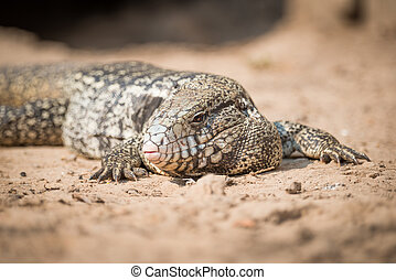 Close-up of common tegu lizard on ground