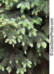 close-up of coniferous tree background