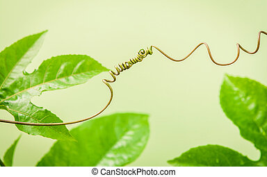 Close up of connected vine on light green background . Connected vine with shallow depth of field. Nature background with vine. Connecting with nature concept.