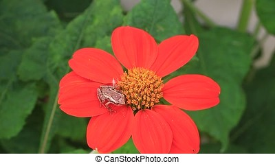 coqui frog - close-up of coqui frog on tithonia flower